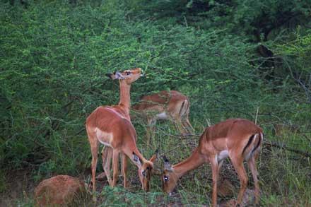 impala gazelle 2